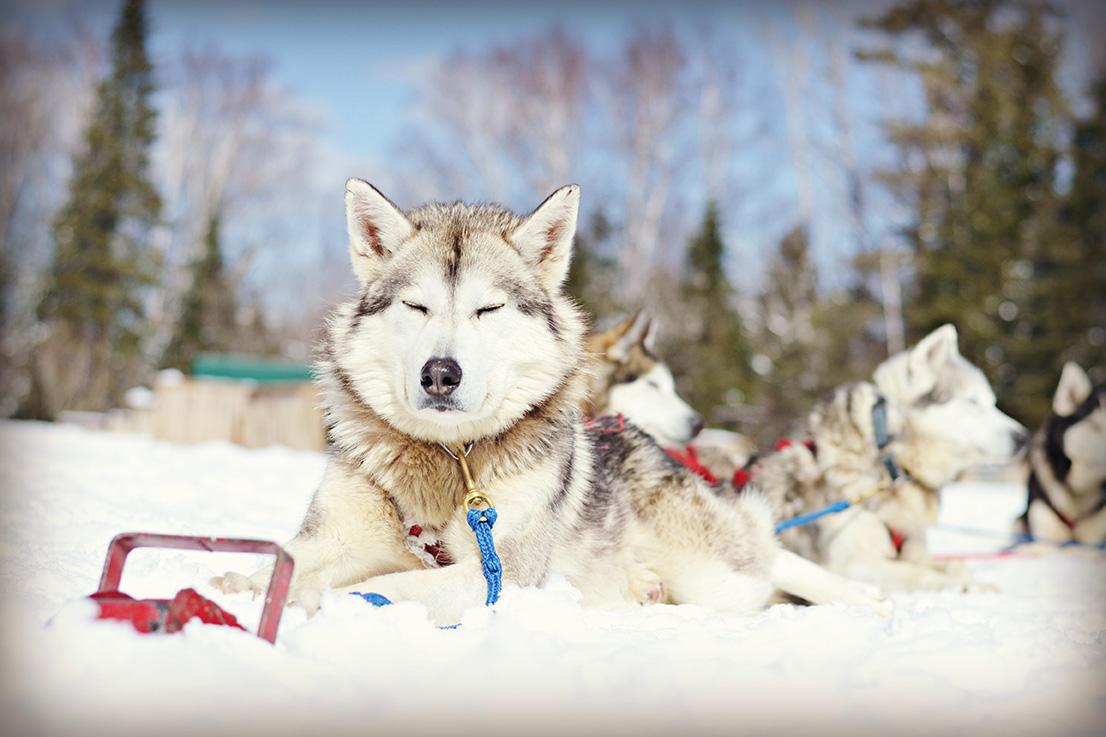 Le chien de traîneau une activité nature à ne pas manquer