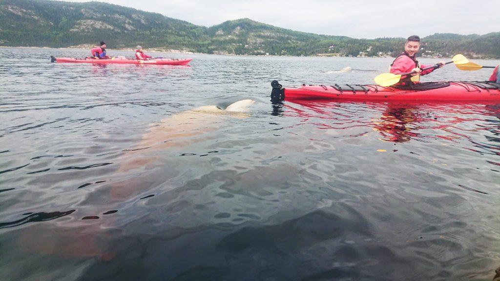 Kayak bélugas Saguenay